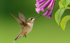 flowers that attract hummingbirds