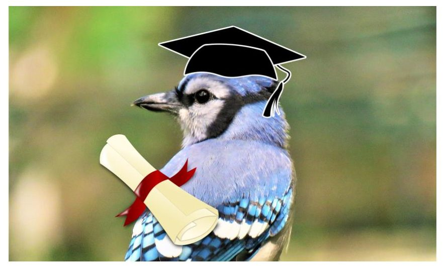 blue jay facts - they are intelligent and smart