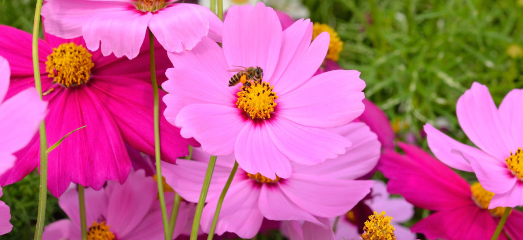 a bee is on a cosmo in the garden
